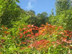 漆の葉の紅葉