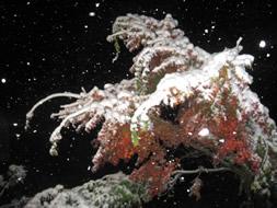 紅葉のもみじと初雪